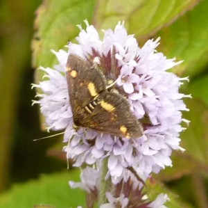 Moth on water mint