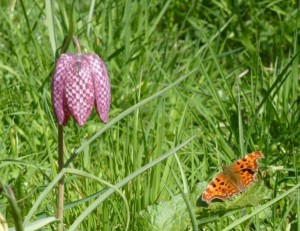 Fritillary and comma